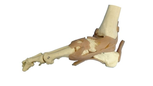【セミナー情報】基礎から学ぶ機能解剖学 第7回~足関節と足~